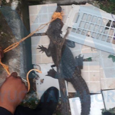 Vecino de Mulsay encuentra un cocodrilo en el patio de su casa