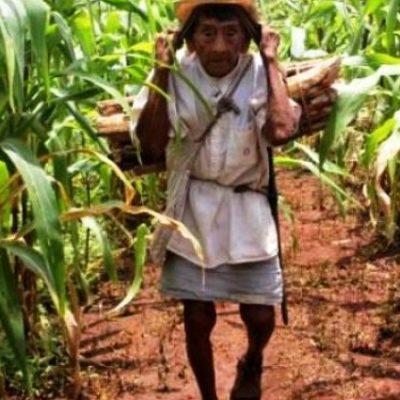 Dura realidad de la milpa en Yucatán: los jóvenes se avergüenzan del campo