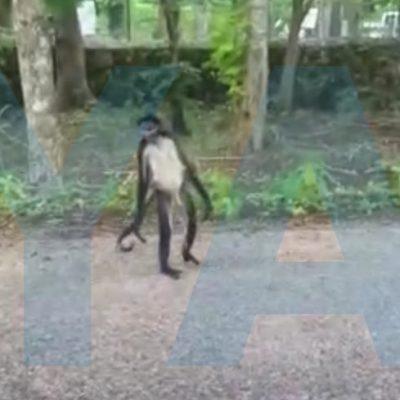 Mono araña hace travesuras en una carretera del sur de Yucatán