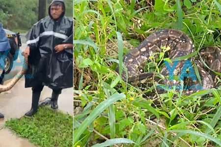 Encuentra una boa de dos metros en el patio de su casa