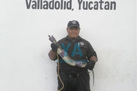 Aparece un cocodrilo en fraccionamiento de Valladolid
