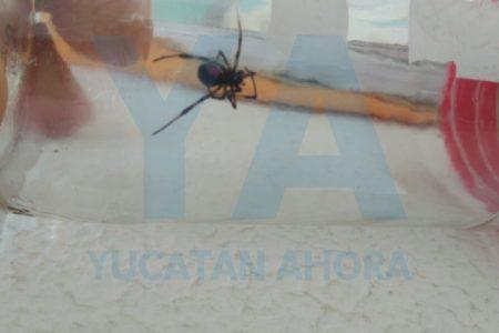 Salió a su terraza y encontró una araña viuda negra en el tendedero