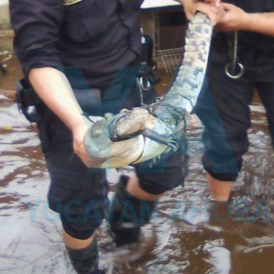 Descubre un cocodrilo en su terreno inundado