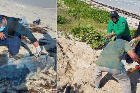Recala muerto un delfín nariz de botella en el playón de Chuburná Puerto