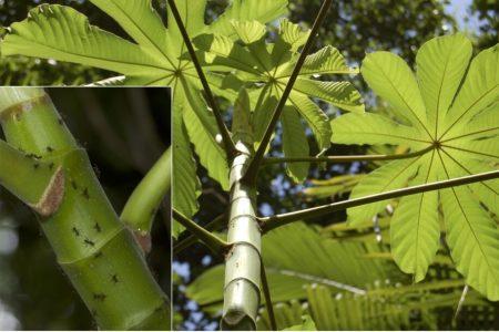 Descubren en Yucatán hormigas 'guardaespaldas' de plantas