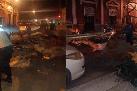 Ya no aguantó, cae enorme y antiguo Flamboyán en el centro de Mérida