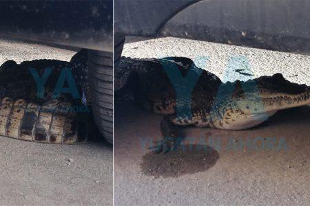 Ahora cocodrilos en Las Américas: hallan uno escondido debajo de un auto