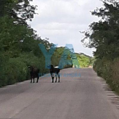 Escapan seis toros de casta: su cuidador se emborrachó y dejó abierto el corral