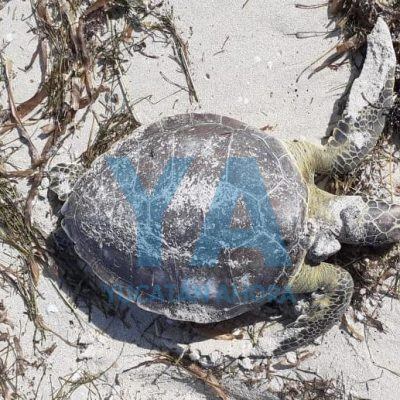 Recala muerta en playa de Progreso una tortuga verde