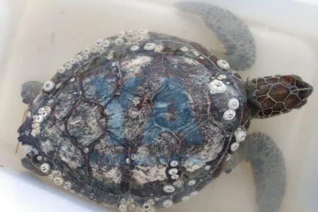 Recala tortuga enferma en la playa de Chelem