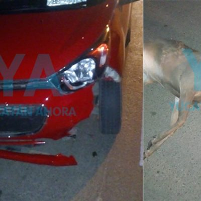 Muere atropellado un venado que se atravesó en la carretera
