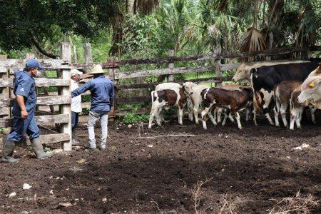 Pequeños productores ganaderos se benefician con el programa Veterinario en Tu Rancho