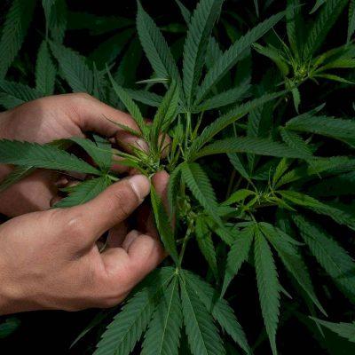 Senado aprueba la despenalización de la marihuana en México