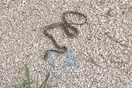 Encuentra en su patio una serpiente negra y verde