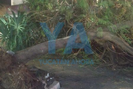 Cae viejo y cansado árbol junto al mercado del barrio de Santiago