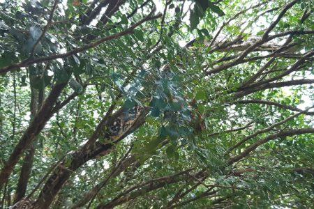 Encuentra enorme boa 'descansando' en un árbol de su patio