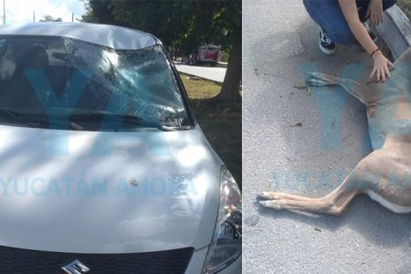 Muere atropellado un venado en la Mérida-Progreso