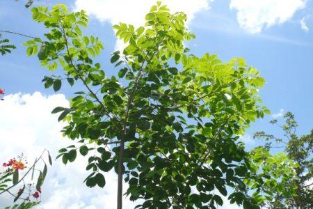 Ayuntamiento informa sobre corte de un árbol de chacá en Paseo de Montejo