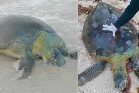 Recalan muertas dos tortugas en playas de Progreso