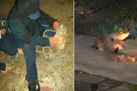 Se escapa un cocodrilo en el Zoológico de Tizimín