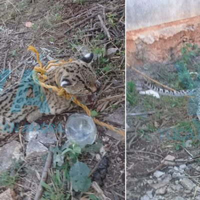 Joven rescata a un ocelote atropellado en Calcehtok