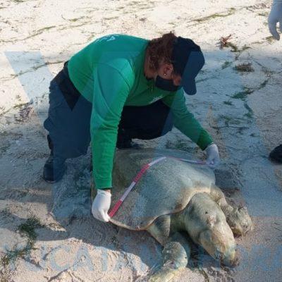 Recala muerta una tortuga 'caguama' en Chicxulub Puerto