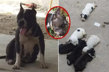 Inhumano: envenenan una Pitbull que acababa de parir ocho cachorros