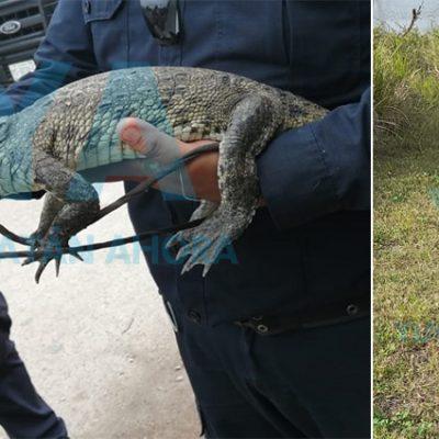 Tras denuncia, vecino le dice adiós a cocodrilo que salvó y alimentó por meses en Tekit