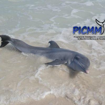 Salvan un delfín varado en la costa de Las Coloradas