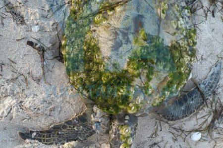 Rescatan una tortuga en la playa