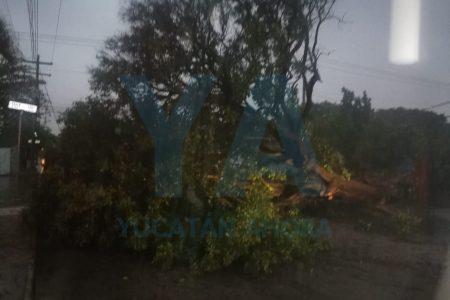 Cae enorme flamboyán en Xoclán Bech: deja sin luz una manzana