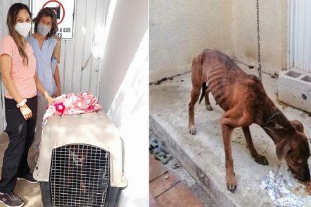 Rescatan perrita maltratada por su dueña, en Jardines de Caucel