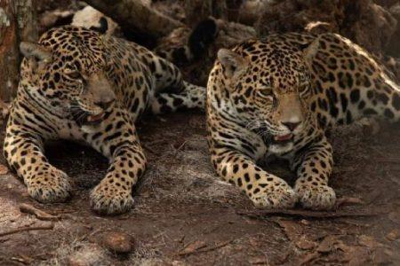 Liberan a dos hembras de jaguar mediante un plan de conservación del Tren Maya