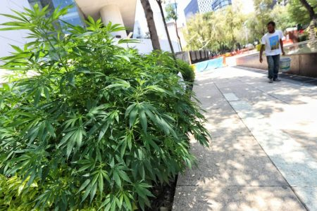 Diputados aprueban en comisiones uso lúdico de la marihuana