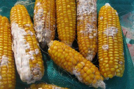 Con hongos microscópicos mejoran cosecha de maíz: Cinvestav