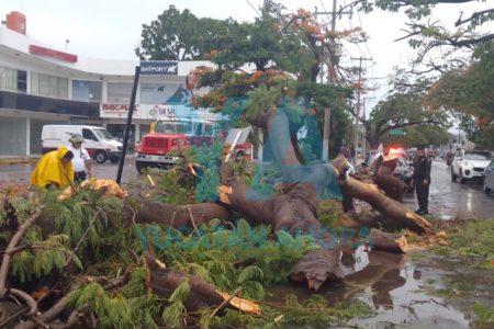 Por fuertes vientos, cae enorme Flamboyán en la calle 60