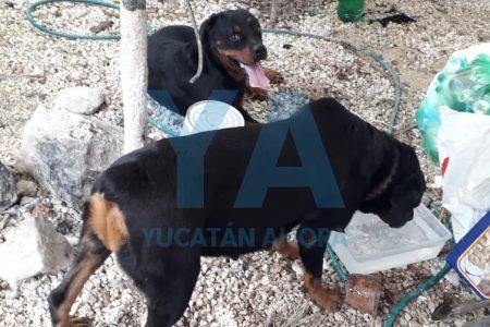 Deambulan sueltos dos perros de raza Rottweiler en la colonia Jesús Carranza