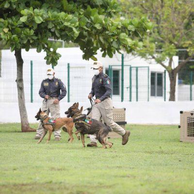 Llegan a Yucatán perros que detectan drogas, armas y dólares