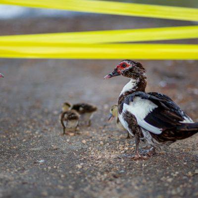 Nuevos inquilinos en el Parque Hundido del Poniente: los patos ya se reprodujeron