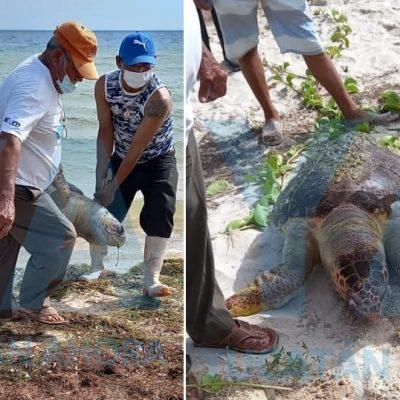 Encuentran muerta una tortuga en la playa de San Crisanto