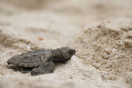 Por primera vez, liberan crías de tortuga Lora en costas de Yucatán