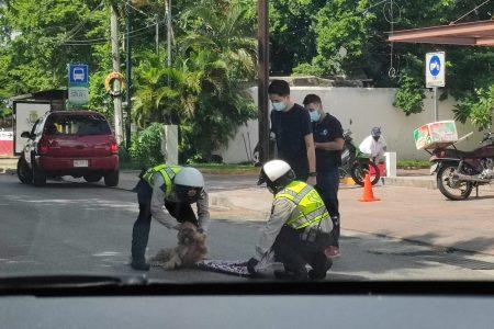 Escena digna de admirar: policías improvisan camilla para perrito atropellado en la Itzaes