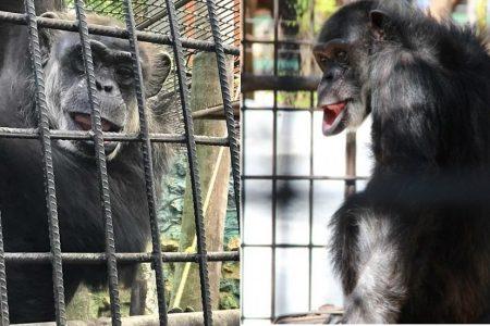 La chimpancé Susy del Centenario ya tiene 45 años