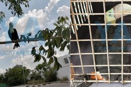 Rescatan un tucán en Ciudad Caucel