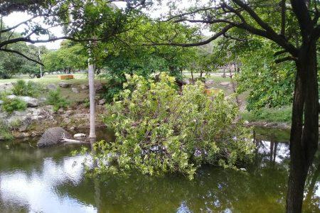 Se desploma almendro del Parque Hundido del Poniente, por el viento y exceso de agua