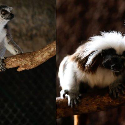 El Centenario cambia cebra por una pareja de Tamarín copete de algodón y una lémur hembra