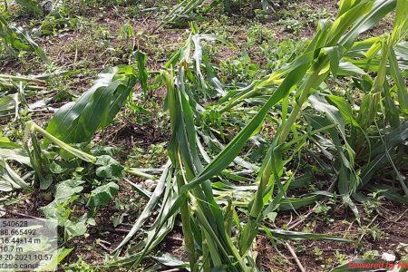 Tras la tormenta Grace, hay déficit de lluvias en las milpas mayas