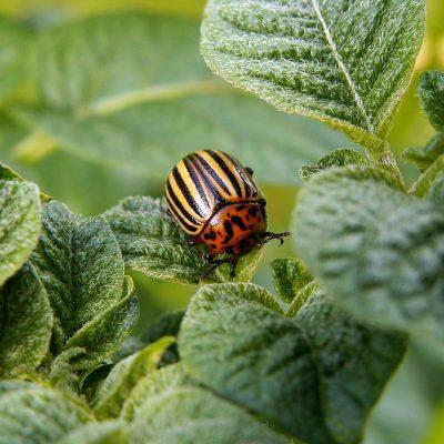 Cinvestav usará bacterias, en lugar de insecticidas, para combatir plaga de gusanos