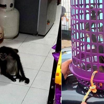 Capturan mono araña en una tienda de Kanasín