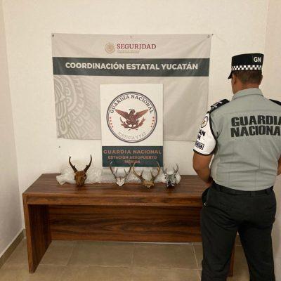 Aseguran cornamentas de venado en el aeropuerto de Mérida